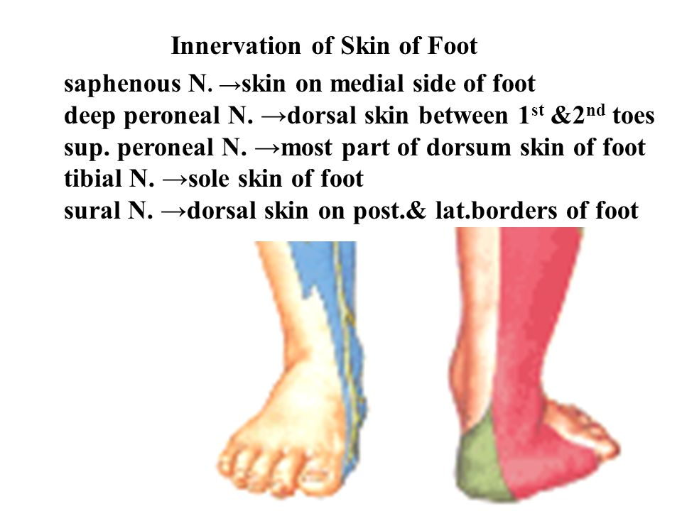 Innervation of Skin of Foot