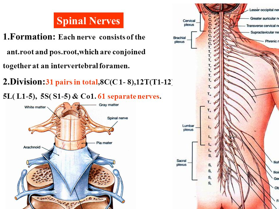 Spinal Nerves 1.Formation: Each nerve consists of the
