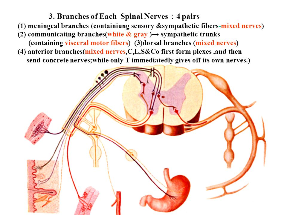 3. Branches of Each Spinal Nerves:4 pairs
