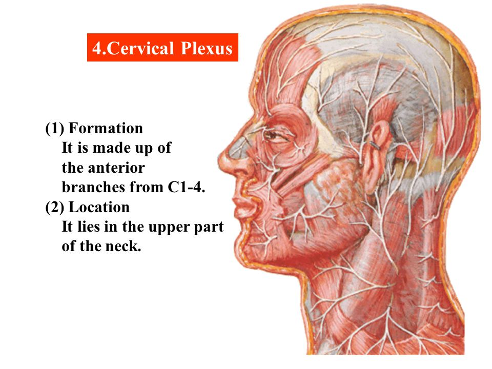 4.Cervical Plexus (1) Formation It is made up of the anterior