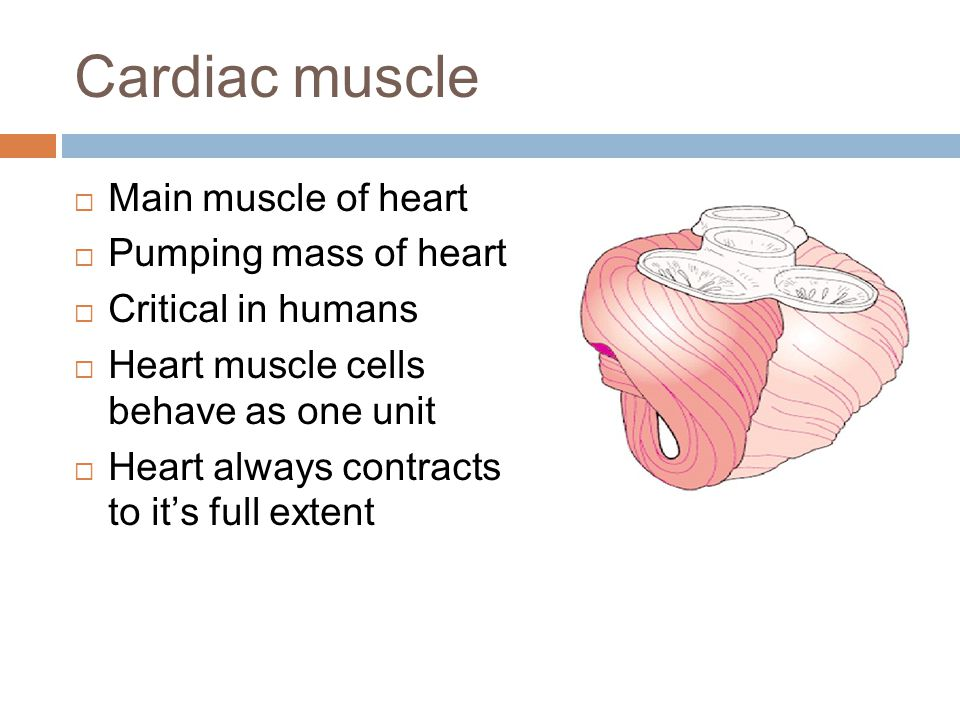 Cardiac muscle Main muscle of heart Pumping mass of heart
