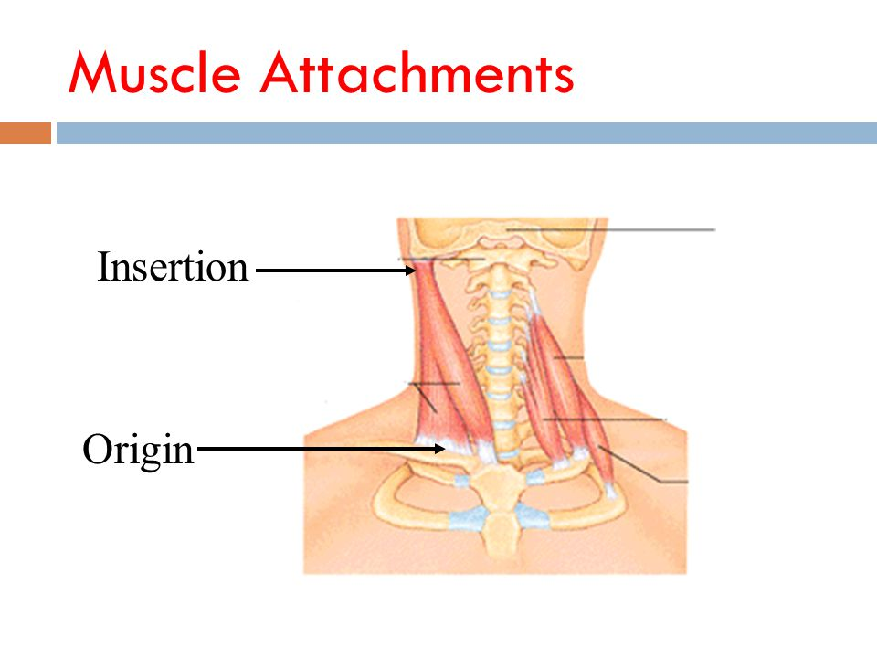Muscle Attachments Insertion Origin