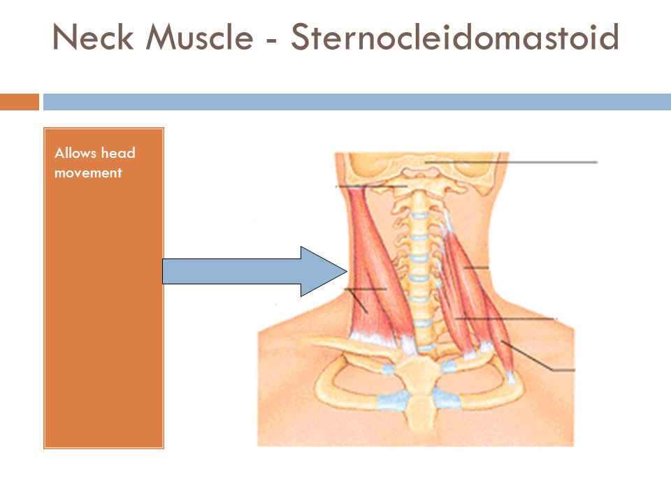 Neck Muscle - Sternocleidomastoid