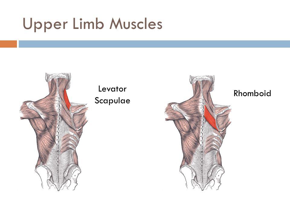 Upper Limb Muscles Levator Scapulae Rhomboid