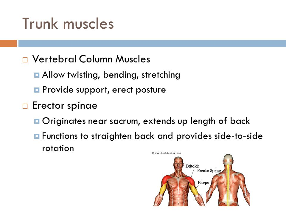 Trunk muscles Vertebral Column Muscles Erector spinae