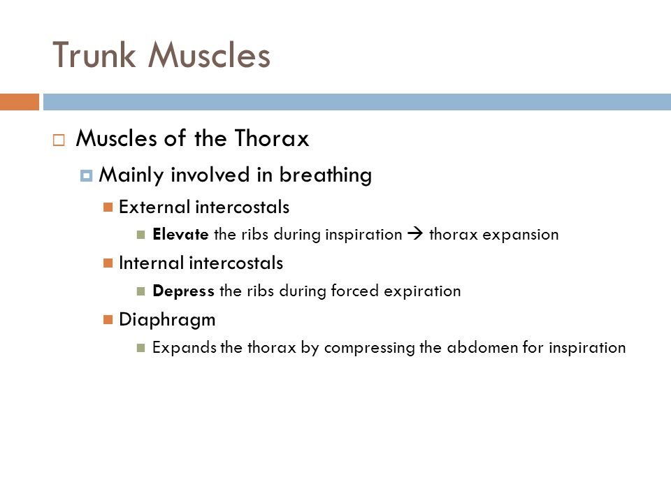 Trunk Muscles Muscles of the Thorax Mainly involved in breathing