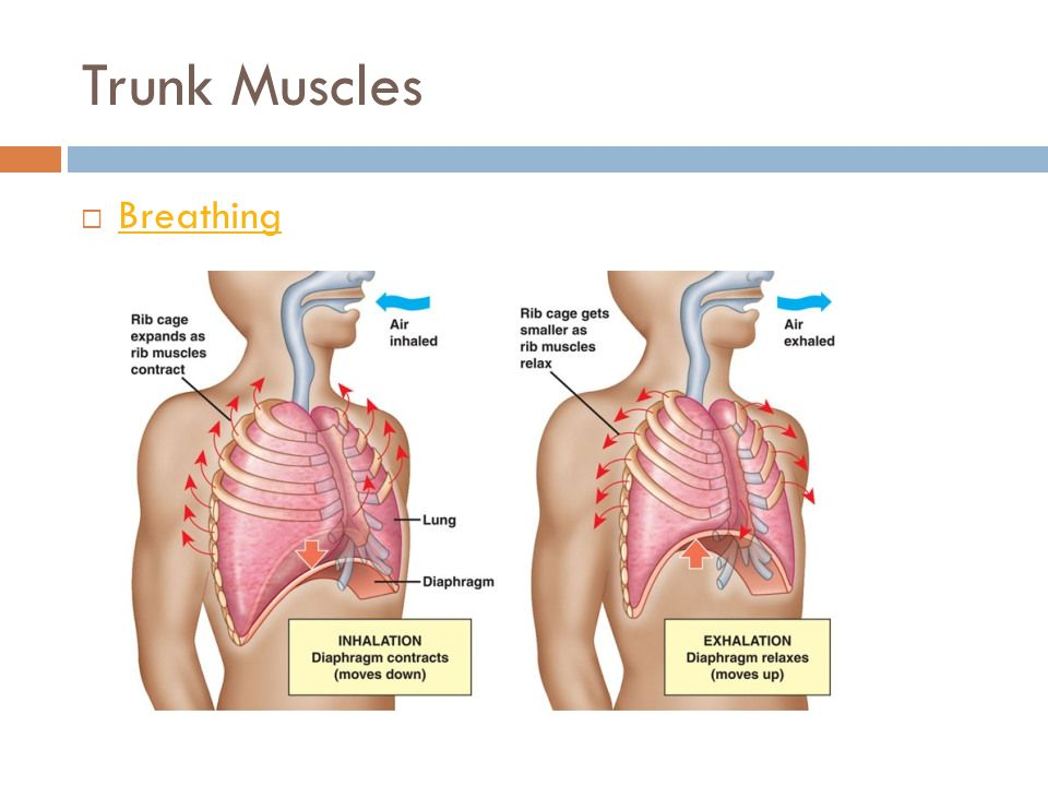 Trunk Muscles Breathing