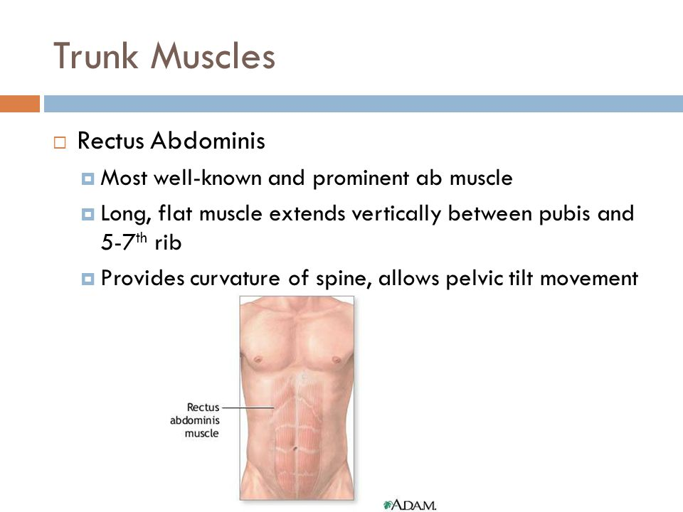 Trunk Muscles Rectus Abdominis Most well-known and prominent ab muscle