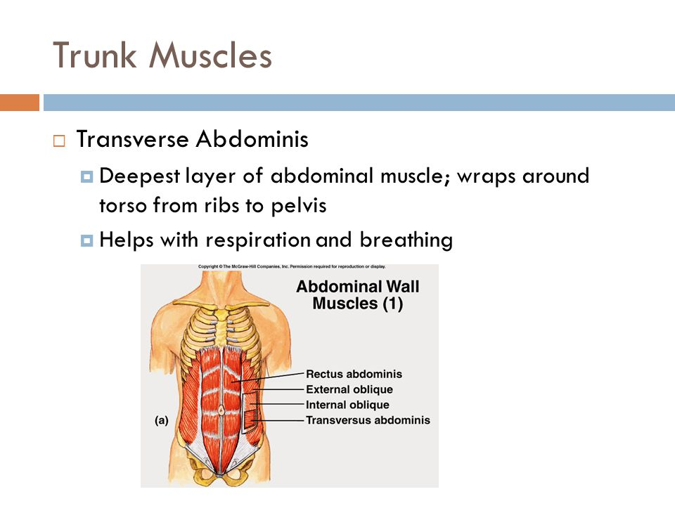 Trunk Muscles Transverse Abdominis