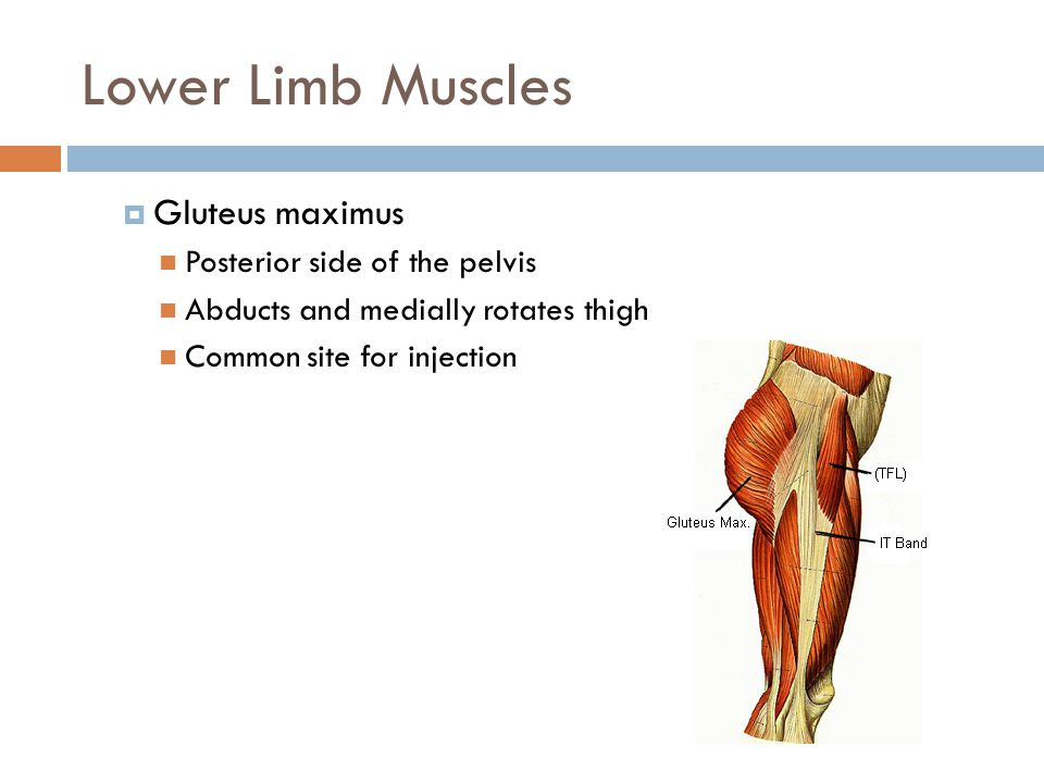 Lower Limb Muscles Gluteus maximus Posterior side of the pelvis