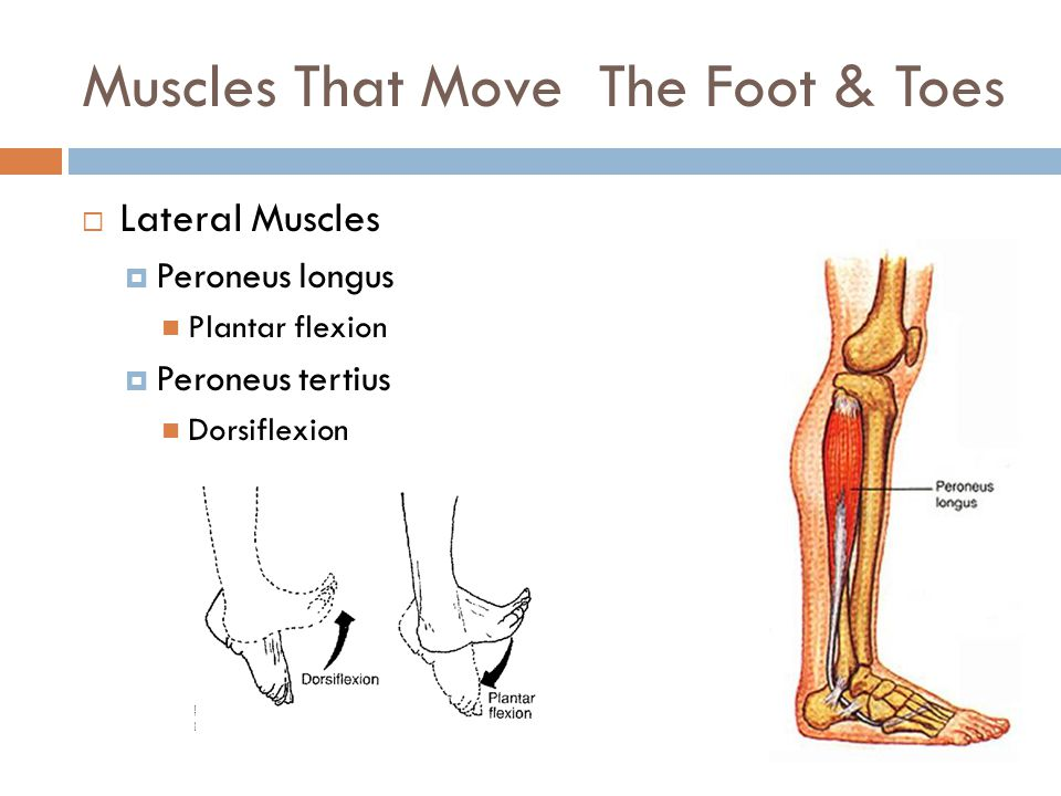Muscles That Move The Foot & Toes