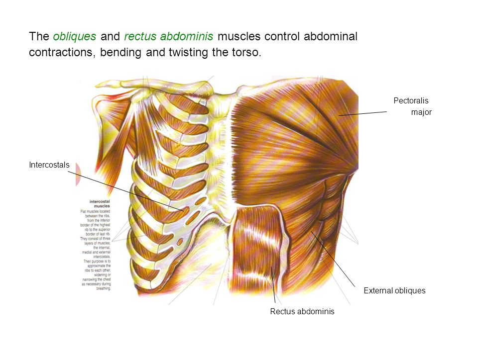 The obliques and rectus abdominis muscles control abdominal