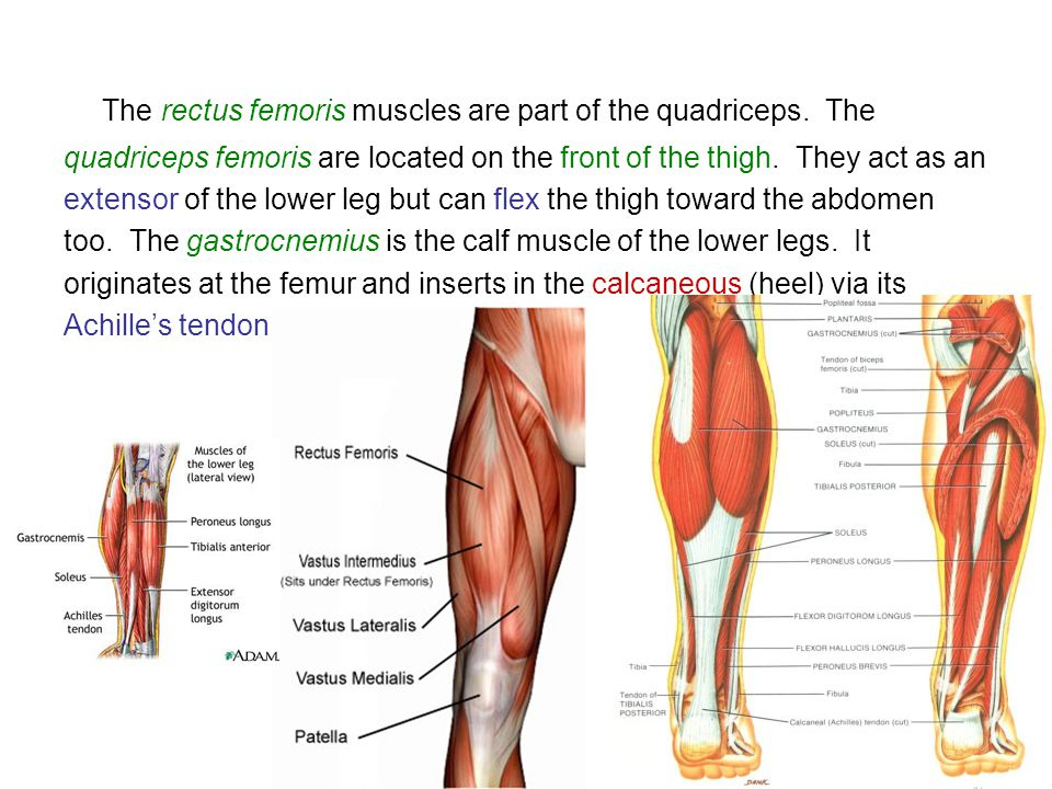 The rectus femoris muscles are part of the quadriceps. The