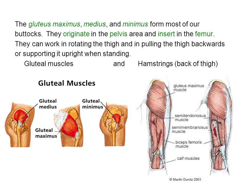 The gluteus maximus, medius, and minimus form most of our