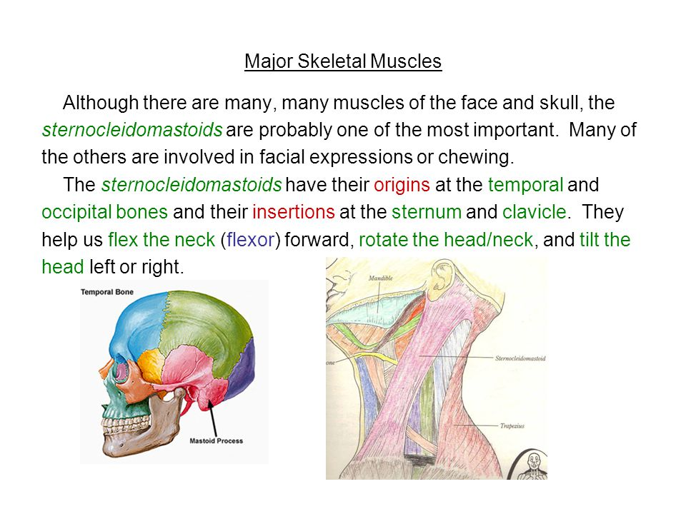 Major Skeletal Muscles