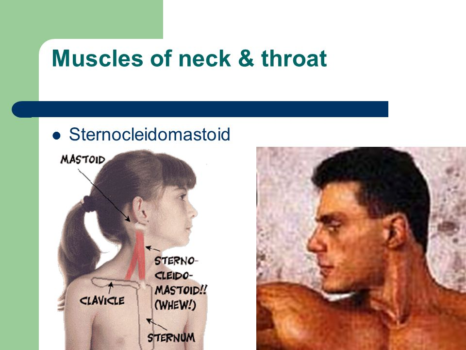 Muscles of neck & throat