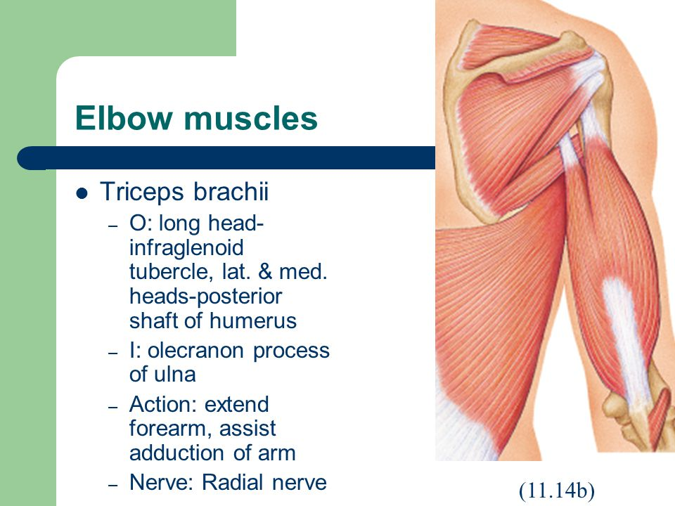 Elbow muscles Triceps brachii