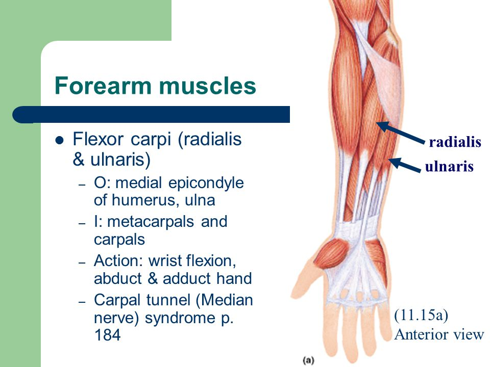Forearm muscles Flexor carpi (radialis & ulnaris) radialis