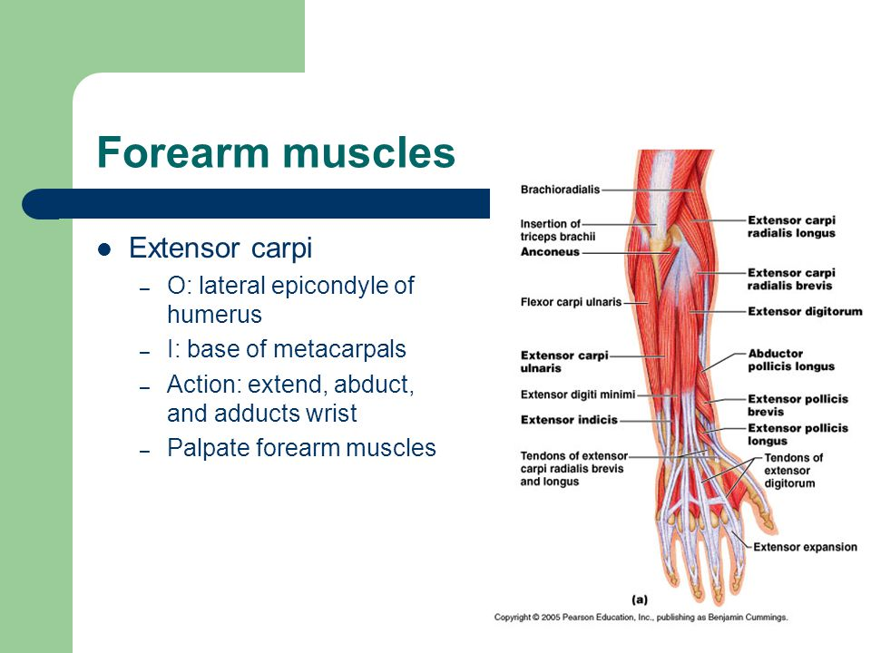 Forearm muscles Extensor carpi O: lateral epicondyle of humerus