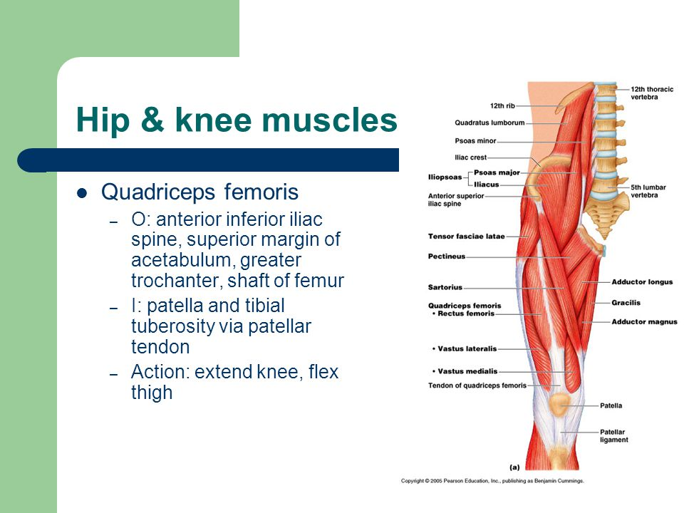 Hip & knee muscles Quadriceps femoris