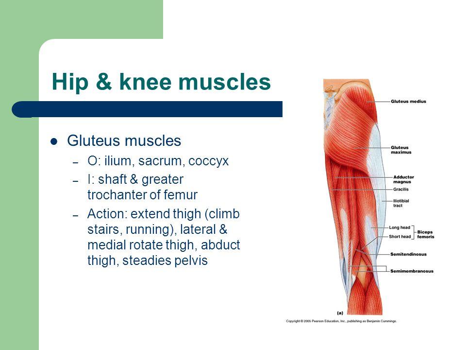 Hip & knee muscles Gluteus muscles O: ilium, sacrum, coccyx