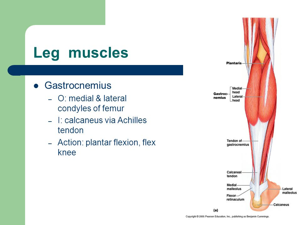 Leg muscles Gastrocnemius O: medial & lateral condyles of femur