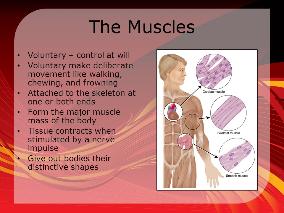 The Muscles Voluntary – control at will