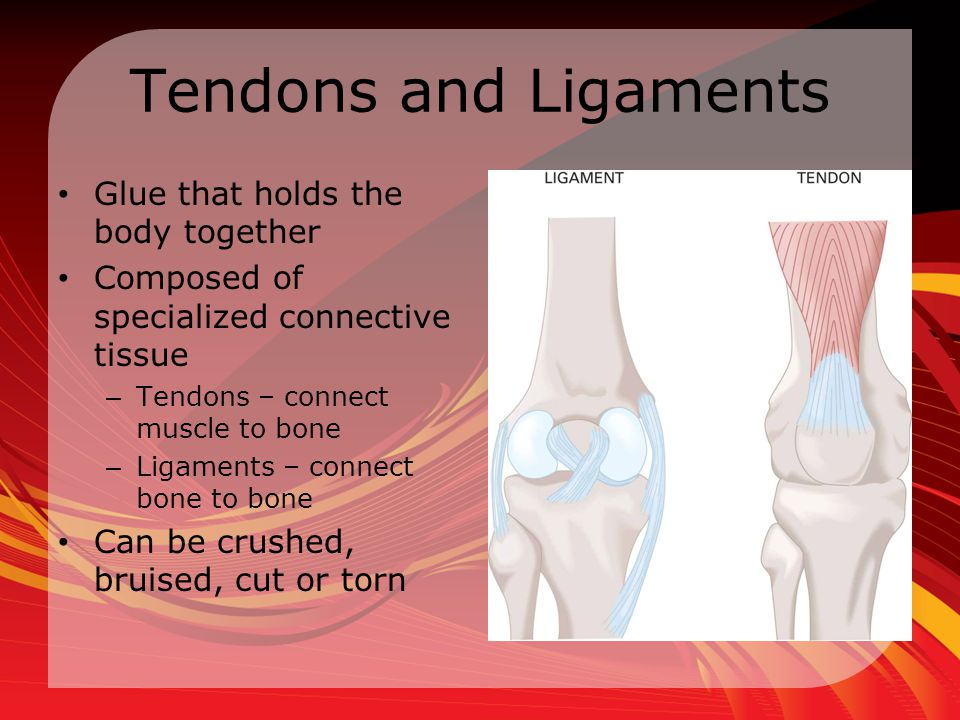 Tendons and Ligaments Glue that holds the body together
