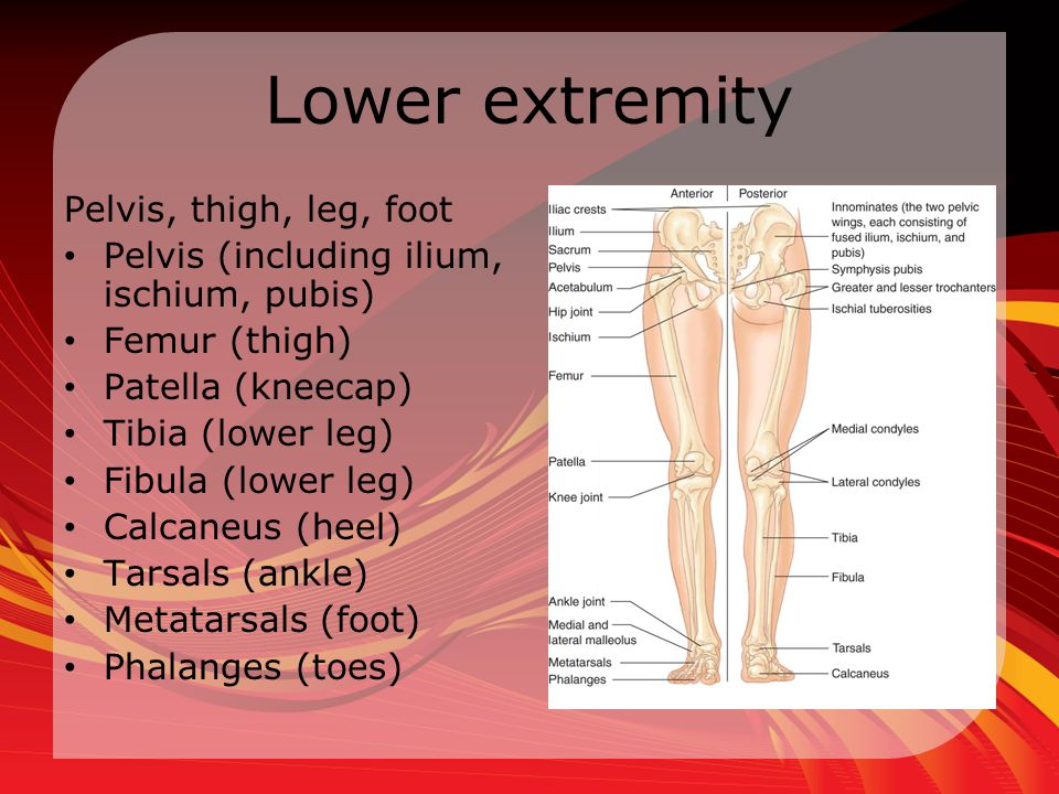 Lower extremity Pelvis, thigh, leg, foot