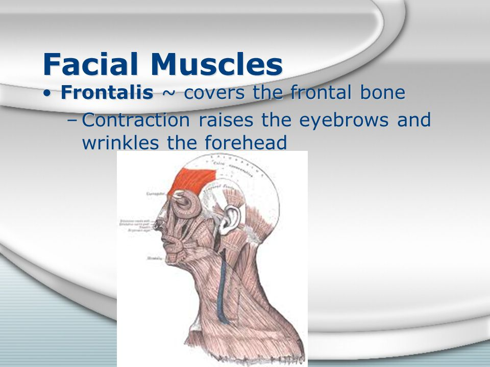 Facial Muscles Frontalis ~ covers the frontal bone