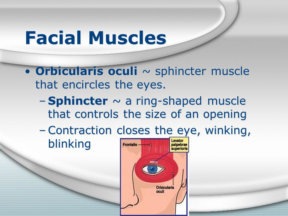 Facial Muscles Orbicularis oculi ~ sphincter muscle that encircles the eyes. Sphincter ~ a ring-shaped muscle that controls the size of an opening.