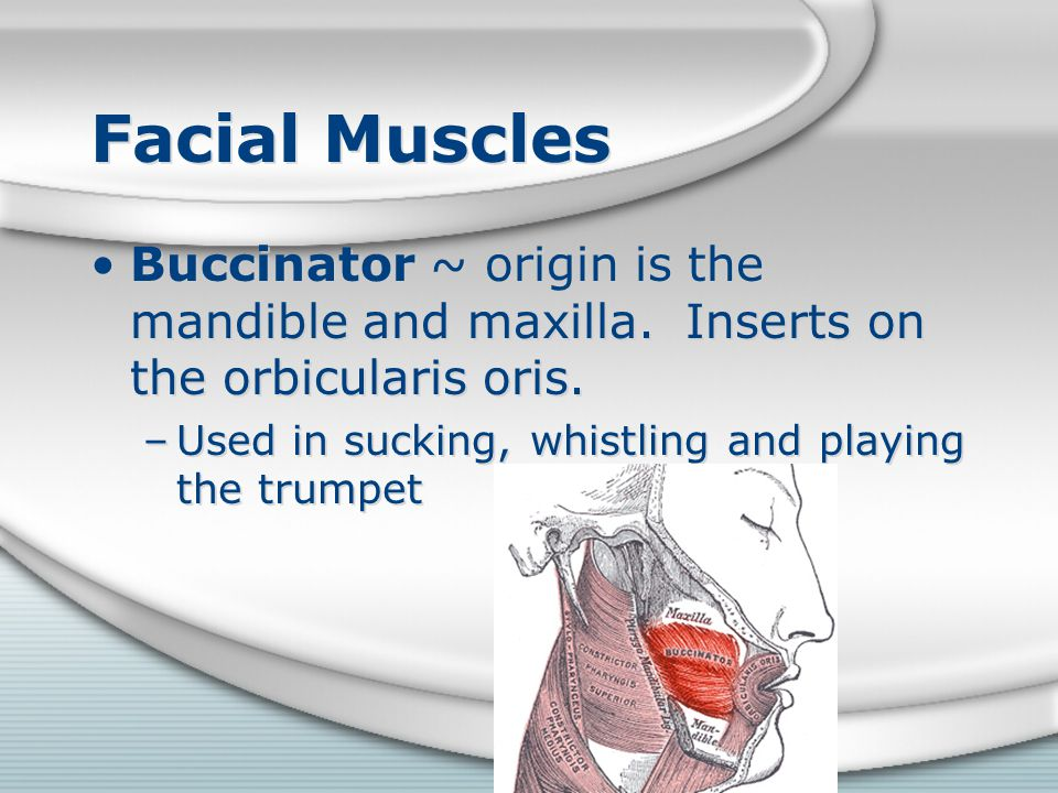 Facial Muscles Buccinator ~ origin is the mandible and maxilla.
