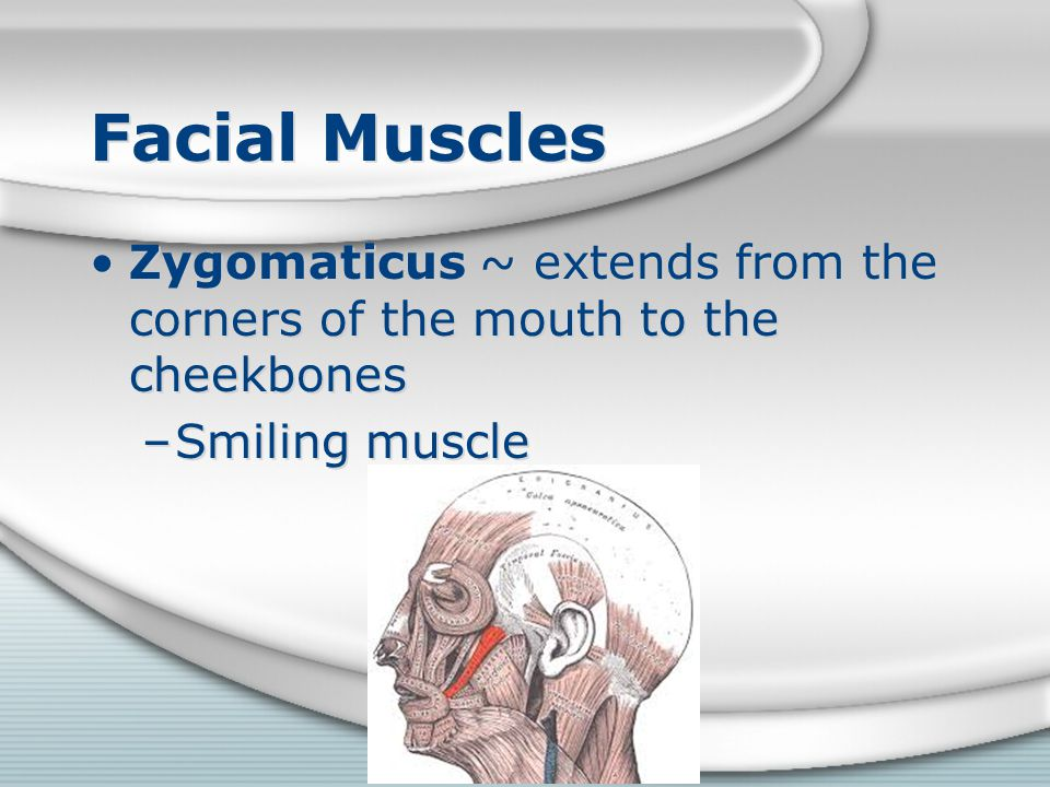 Facial Muscles Zygomaticus ~ extends from the corners of the mouth to the cheekbones Smiling muscle