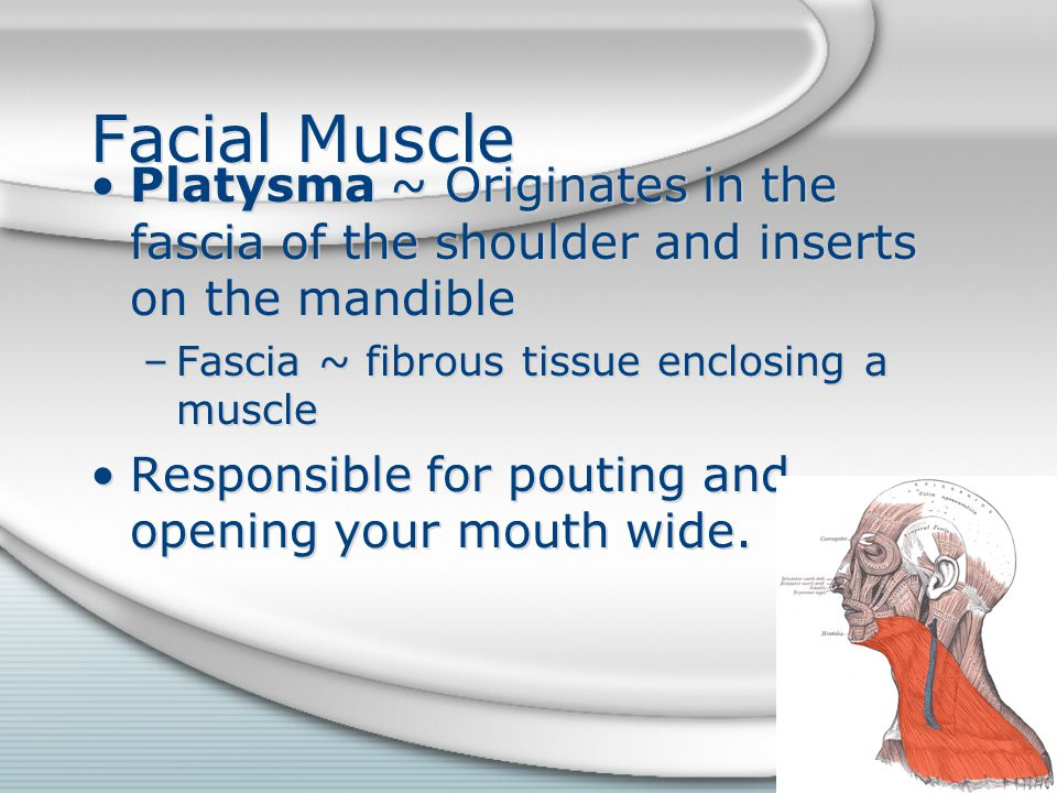 Facial Muscle Platysma ~ Originates in the fascia of the shoulder and inserts on the mandible. Fascia ~ fibrous tissue enclosing a muscle.