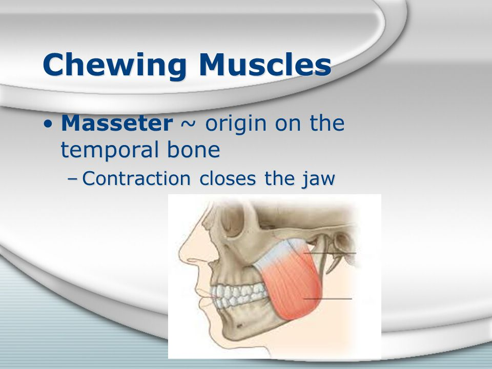 Chewing Muscles Masseter ~ origin on the temporal bone