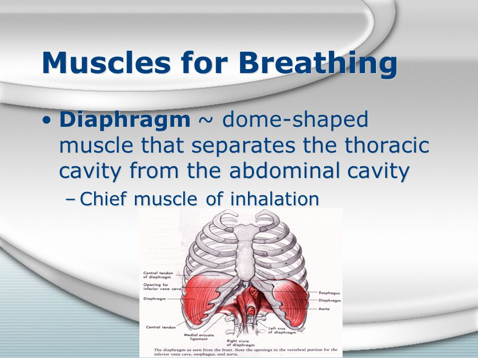 Muscles for Breathing Diaphragm ~ dome-shaped muscle that separates the thoracic cavity from the abdominal cavity.