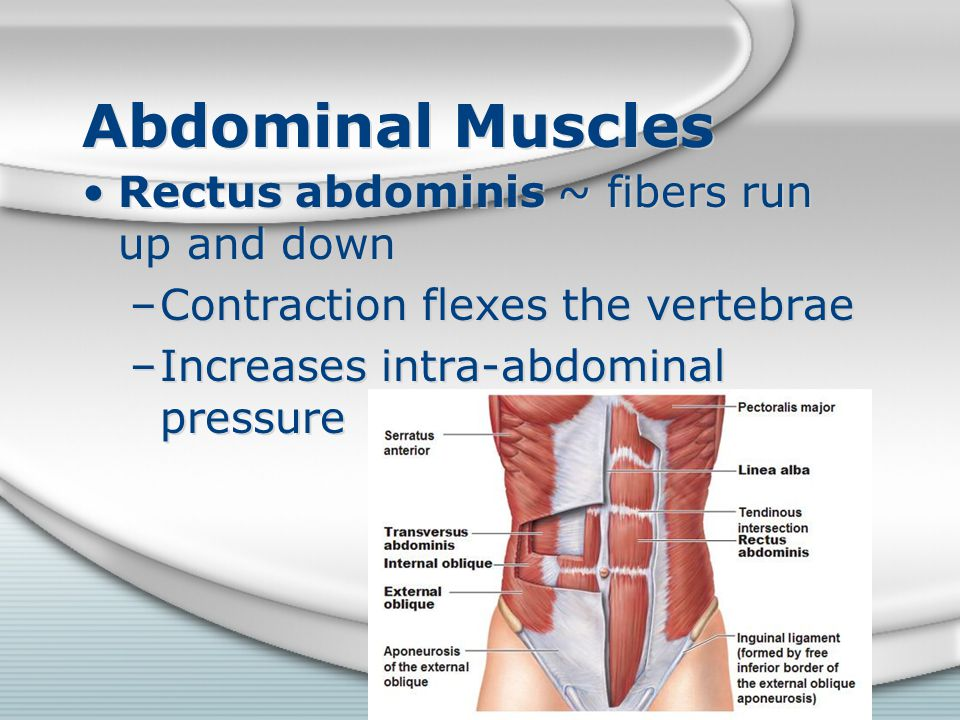 Abdominal Muscles Rectus abdominis ~ fibers run up and down