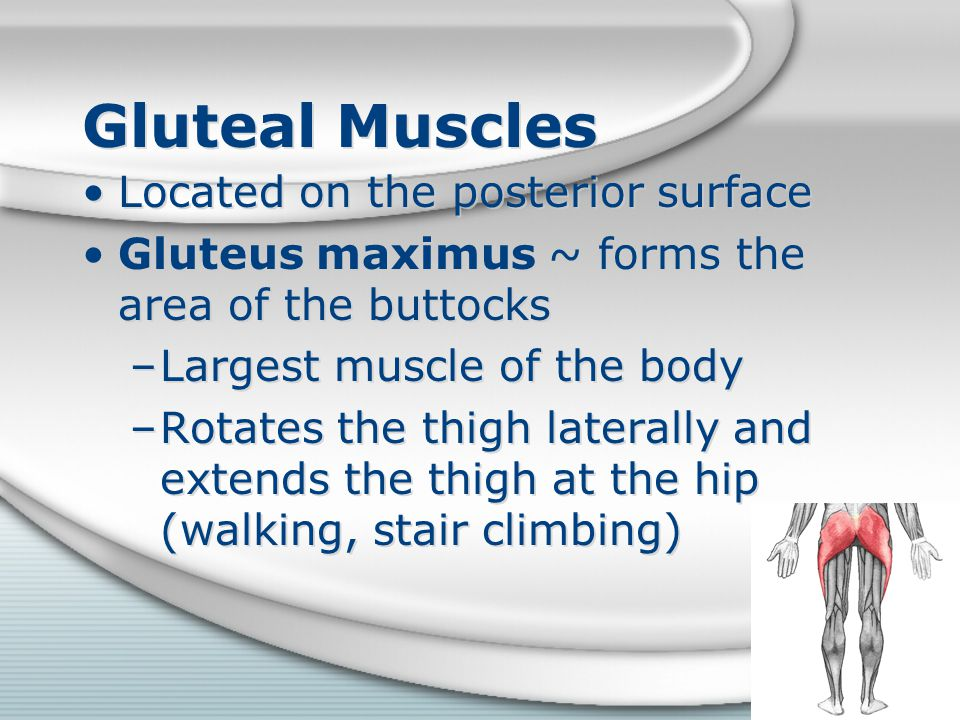 Gluteal Muscles Located on the posterior surface