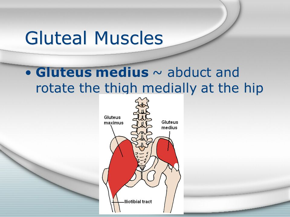 Gluteal Muscles Gluteus medius ~ abduct and rotate the thigh medially at the hip