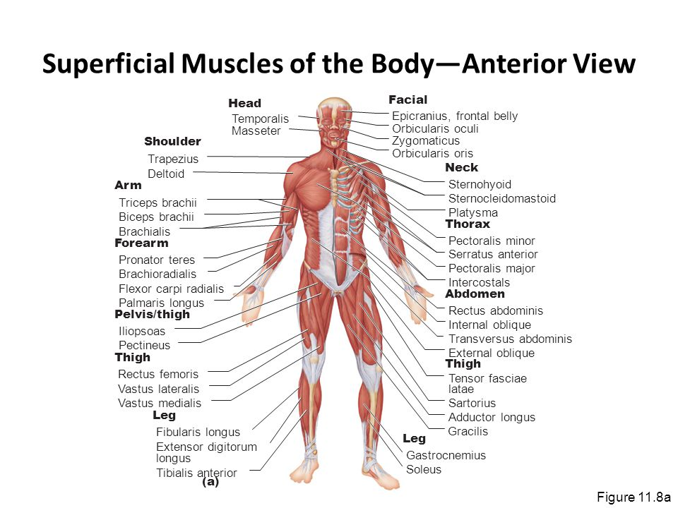 Superficial Muscles of the Body—Anterior View