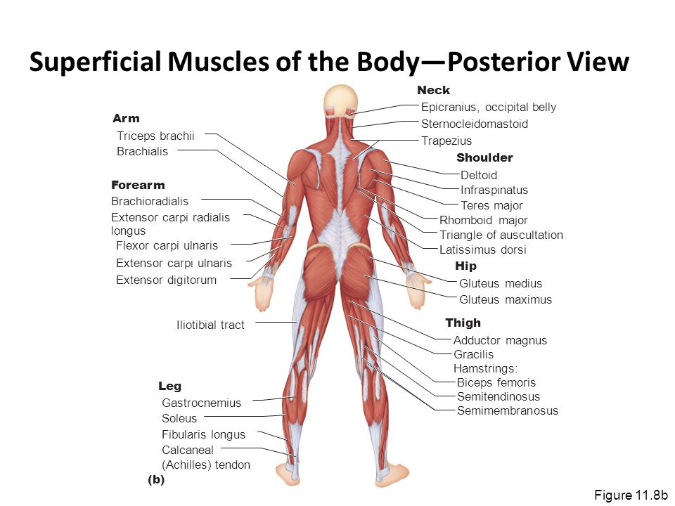 Superficial Muscles of the Body—Posterior View