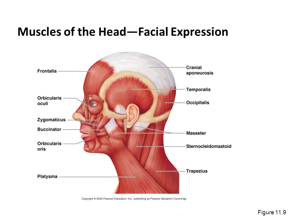 Muscles of the Head—Facial Expression
