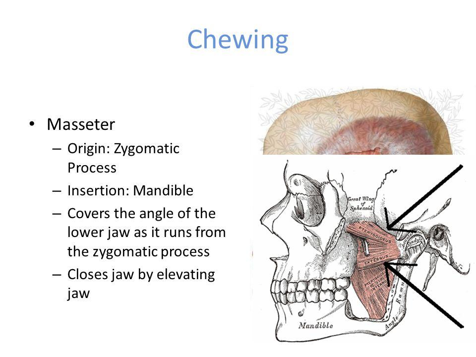 Chewing Masseter Origin: Zygomatic Process Insertion: Mandible