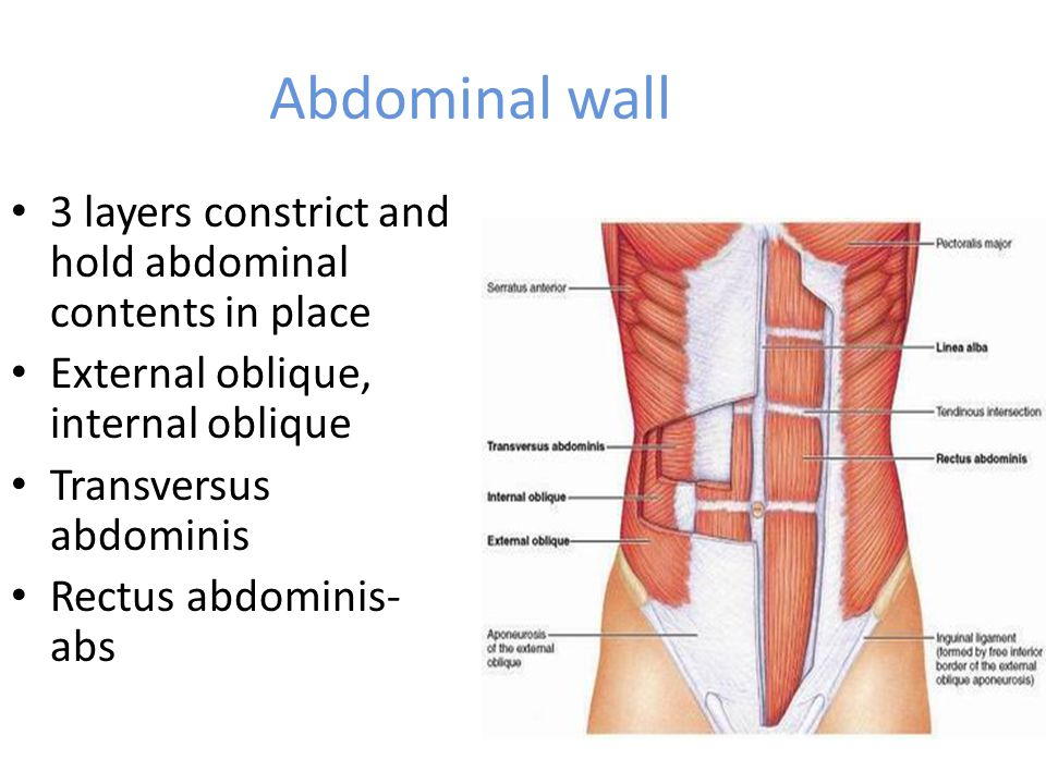 Abdominal wall 3 layers constrict and hold abdominal contents in place