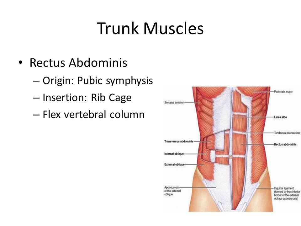 Trunk Muscles Rectus Abdominis Origin: Pubic symphysis