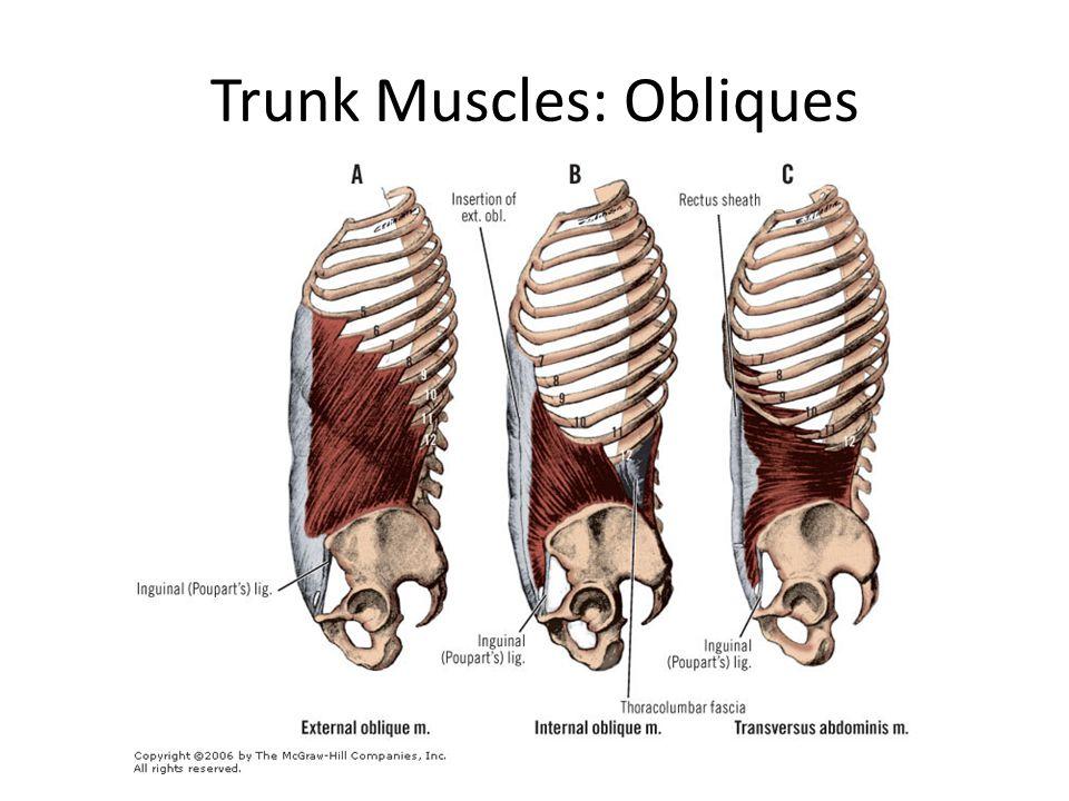 Trunk Muscles: Obliques