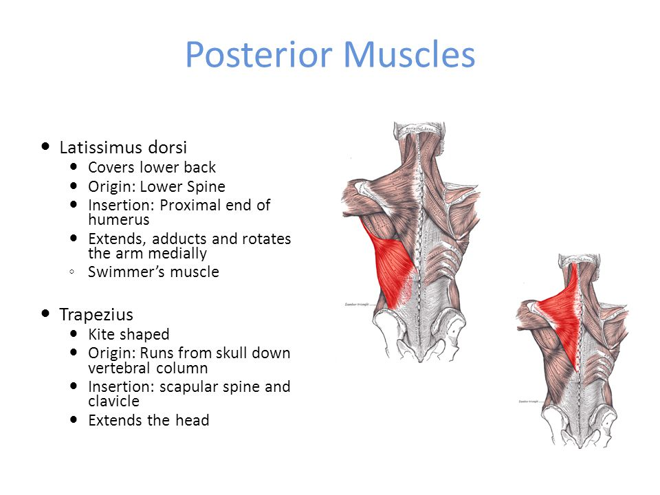 Posterior Muscles Latissimus dorsi Trapezius Covers lower back
