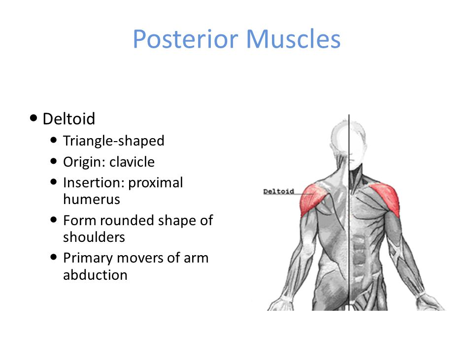 Posterior Muscles Deltoid Triangle-shaped Origin: clavicle