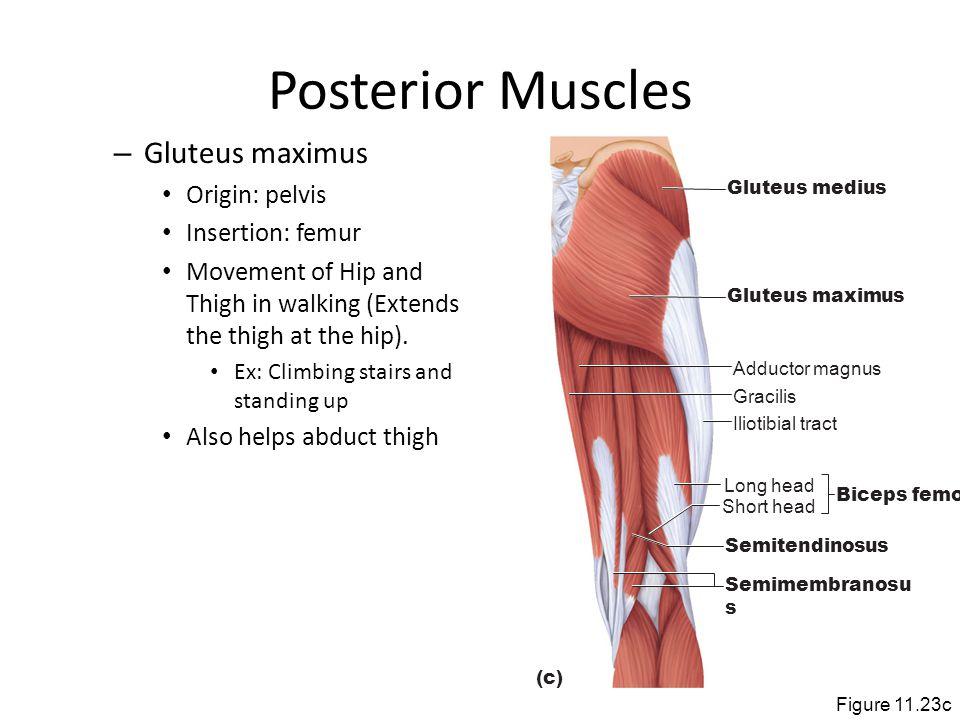 Posterior Muscles Gluteus maximus Origin: pelvis Insertion: femur