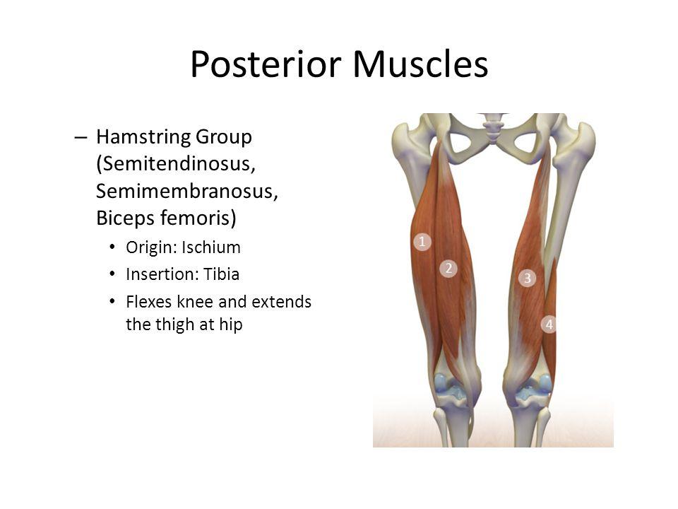 Posterior Muscles Hamstring Group (Semitendinosus, Semimembranosus, Biceps femoris) Origin: Ischium.